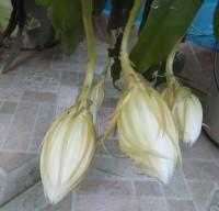 rainhadanoite1